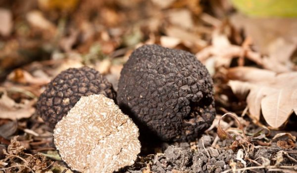 Summer black truffle