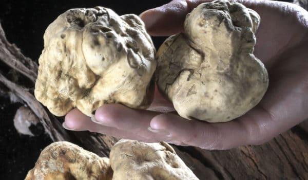 Il Tartufo bianco nella storia di Fabro e la sua mostra mercato